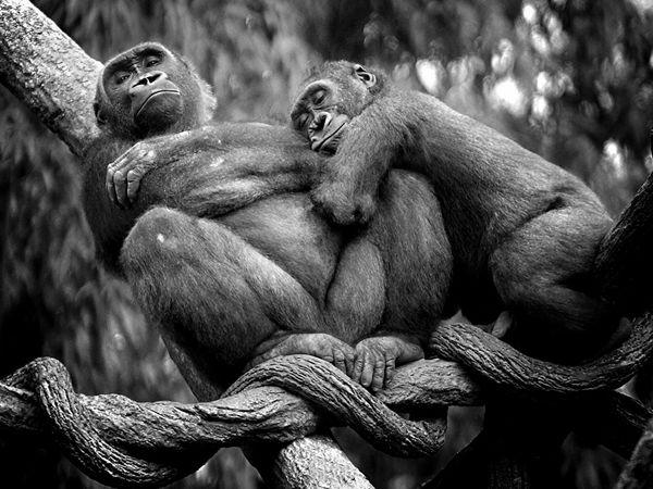 scimmie dormono